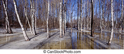 birches grove early spring panoramic landscape