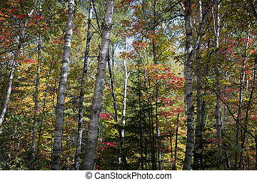 Birches in fall forest