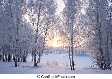 Birches in frost at sunrise