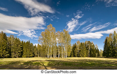 Birches in spring
