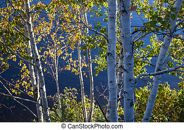 Birch trees with fall foliage in sunshine and shadow on lake shore in autumn. Algonquin Provincial Park, Canada.