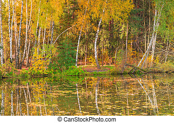 Birches with yellow leaves stand on the shore of a picturesque lake, the autumn landscape of Russia