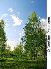 Birchs. North landscape.