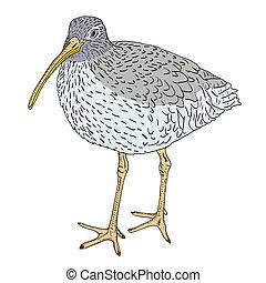 bird., ベクトル, ユーラシア人, curlew, illustration.
