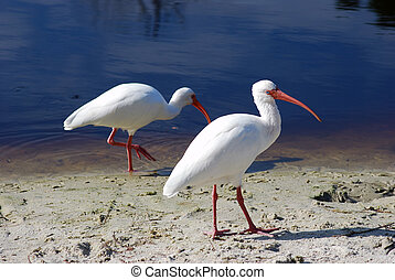 Bird 1 - Several adult white ibis on the shore