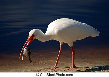 Bird 4 - Closeup of a white Ibis with a fish in his mouth