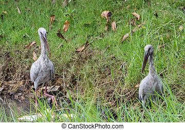 Bird (Anastomus oscitans) in a nature wild - Bird (Anastomus...