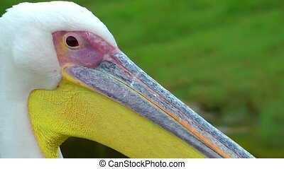 Bird Animal Pelican