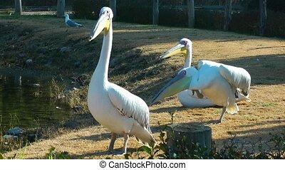 Bird Animal Pelican