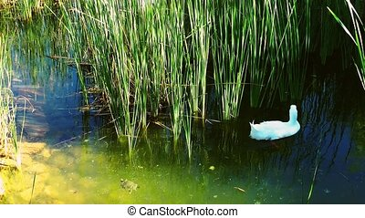 Bird Animal Swan in Nature