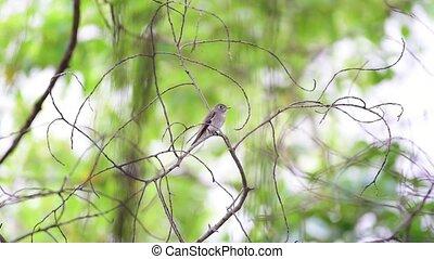 Bird (Asian brown flycatcher) in nature wild - Bird (Asian...