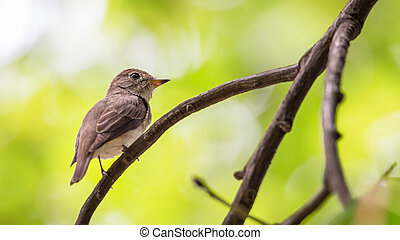 Bird (Asian brown flycatcher, Muscicapa dauurica, Siamensis) grey-brown color perched on a tree in the garden