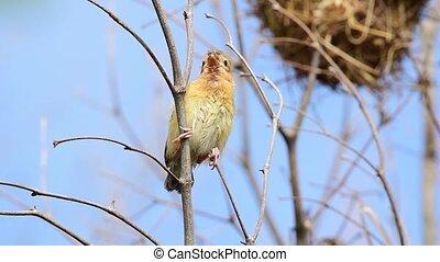 Bird (Asian Golden Weaver) on tree in nature wild - Bird (...