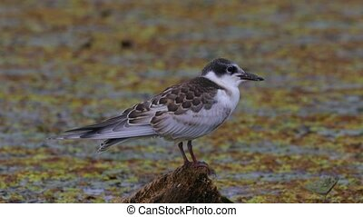 Bird at a lake - Whiskered tern on a lakeside