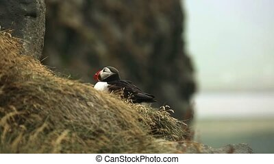 Bird Atlantic puffin sits in the grass on the mountainside. Andreev.
