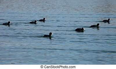 Bird bald coot swimming