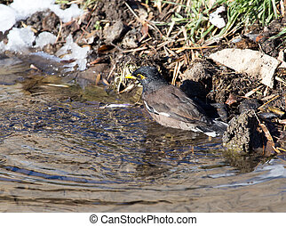bird bathing in a puddle