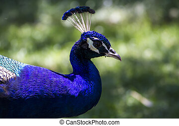bird, beautiful peacock with colorful feathers