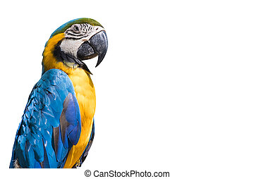 Bird Blue-and-yellow macaw isolate white background copy space