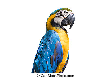 Bird Blue-and-yellow macaw isolate white background