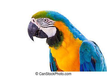 Bird Blue-and-yellow macaw isolated white background.