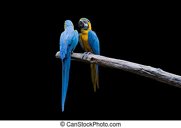 Bird Blue-and-yellow macaw standing on branches isolate black background.