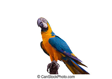 Bird Blue-and-yellow macaw standing on branches isolate white background.