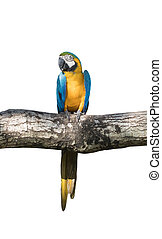 Bird Blue-and-yellow macaw standing on branches of tree isolated white background