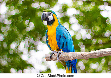Bird Blue-and-yellow macaw standing on branches with blurred bokeh of three background
