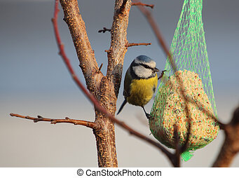 Bird - Blue Tit on tree, wildlife