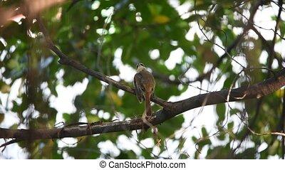 Bird (Brown Shrike) on a tree - Bird (Brown Shrike, Lanius...