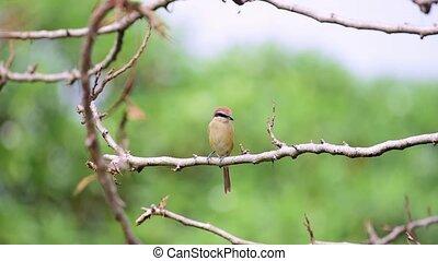 Bird (Brown shrike) on tree in a nature wild - Bird (Brown...