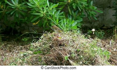 Bird building nest - Small bird building nest from twigs