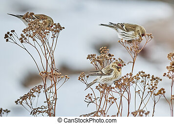 Bird Carduelis flammea on the dry grass in winter
