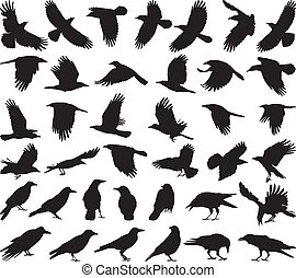 black isolated vector silhouettes of carrion crow on the white background