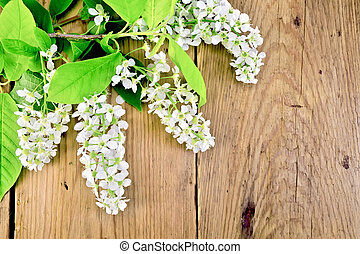 Bird cherry blossoming on background of boards