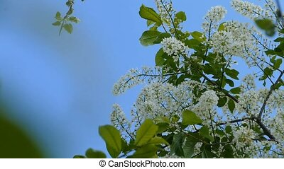 bird cherry blossoms in the spring of the slow motion video...