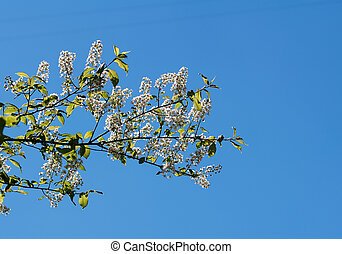 Bird cherry branch with leaves