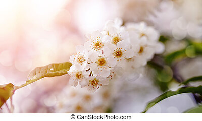 Bird cherry branch with white flowers