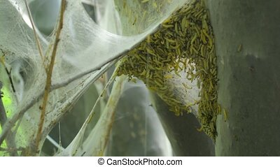 Bird-cherry ermine moth caterpillar worms inside cobweb...