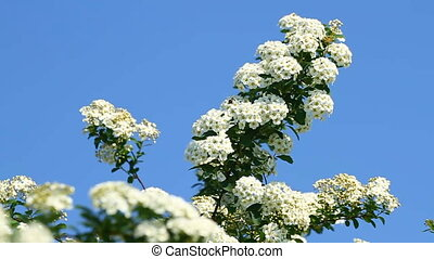 Bird cherry flowers on the blue sky