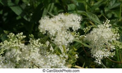 bird cherry fragrant with spring blossomed, white flowers inflorescence, always to cooling omen, close to variable focus