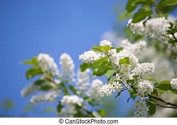 bird cherry in sunshine