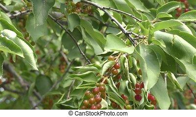 Bird cherry in the summer garden