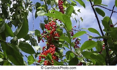 Bird cherry Red sways in the wind