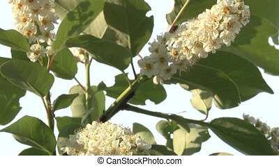 bird-cherry tree,