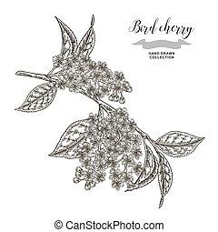 Bird cherry tree branch. Hand drawn bird-cherry flowers. Botanical vector illustration.