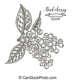 Bird cherry tree branch with berries and leaves. Hand drawn bird-cherry. Vector illustration engraved.