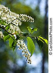 Bird Cherry tree in full bloom at spring garden