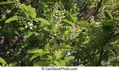Bird cherry tree (Prunus padus) at sunny day